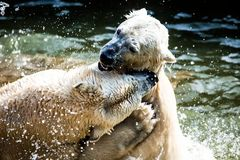 Polar bears fighting Royalty Free Stock Photos