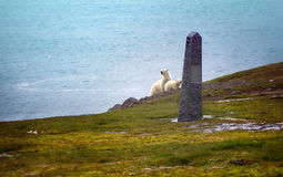 Polar bears on Franz Josef Land. Female with cub watching photographer from behind monument to expedition of duca degli Abruzzi to North pole 1900. Conquest of royalty free stock photos