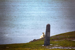 Polar bears on Franz Josef Land. Female with cub watching photographer from behind monument to expedition of duca degli Abruzzi to North pole 1900. Conquest of royalty free stock image