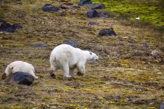 Polar Bears on Franz-Joseph Land. Female with cub. Polar Bears on Franz-Joseph Land. Female with funny plump cub on island of NORTHBROOK. Flees after collision Stock Photography