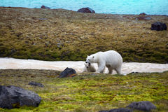 Polar Bears on Franz-Joseph Land. Female with cub. Polar Bears on Franz-Joseph Land. Female with funny plump cub on island NORTHBROOK. Gradually approaching to Royalty Free Stock Photography