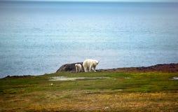 Polar Bears on Franz-Joseph Land. Female with cub. Polar Bears on Franz-Joseph Land. Female with funny plump cub on island of NORTHBROOK. Gradually approaching Stock Image