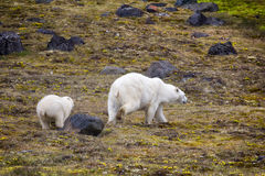Polar Bears on Franz-Joseph Land. Female with cub Royalty Free Stock Photos
