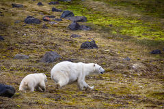 Polar Bears on Franz-Joseph Land. Female with cub. Polar Bears on Franz-Joseph Land. Female with funny plump cub on island of NORTHBROOK. Flees after collision Royalty Free Stock Photo