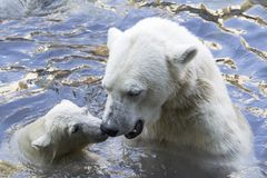 Polar bears greeting. Wet mother polar bear and cub in the water tenderly greeting by touching noses royalty free stock image