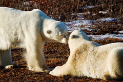 Polar bears greeting each other Stock Image