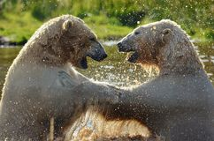 Polar Bears having fun. In the water on a hot day Royalty Free Stock Photo