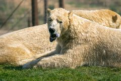 Polar bears head with tongue sticking out. Two of Yorkshire Wildlife Parks polar bears. A close up of their heads laying together royalty free stock images