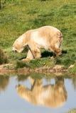 Polar bears head walking with a reflection. Two of Yorkshire Wildlife Parks polar bears stock photo