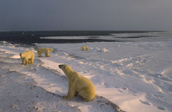 Polar bears on Hudson's Bay shoreline Stock Photo