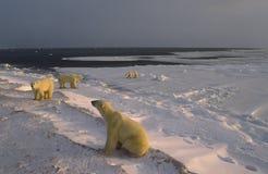Polar bears on Hudson's Bay shoreline Stock Photo