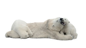Polar Bears Isolated On White Background Royalty Free Stock Photography