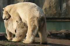 Polar bears in love Royalty Free Stock Image