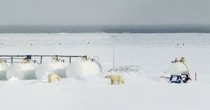 Polar bears meet civilisation Stock Photography