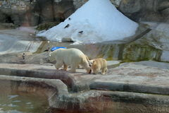 Polar bears in Moscow zoo. White Arctic bears in Moscow zoo aviary Stock Photos
