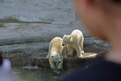 Polar bears in Moscow zoo. White Arctic bears in Moscow zoo aviary Stock Photo