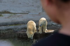 Polar bears in Moscow zoo. White Arctic bears in Moscow zoo aviary Stock Image