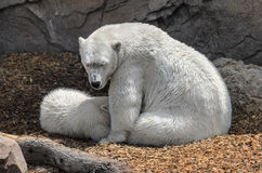 Polar bears - mother and child Royalty Free Stock Image