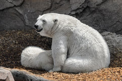 Polar bears - mother and child Royalty Free Stock Photography