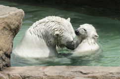 Polar bears - mother and child Stock Photo