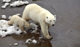 Polar bears. Mother with the cub Royalty Free Stock Image