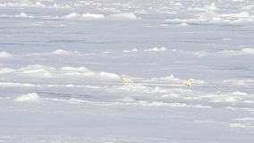 Polar bears walking in an arctic.