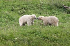 Polar bears in the nature. White polar bears playing in the nature Royalty Free Stock Image