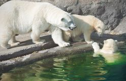 Polar bears Royalty Free Stock Image