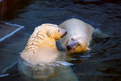 Polar bears in the Novosibirsk Zoo. The couple polar bears in the Novosibirsk Zoo stock image