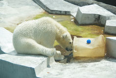 Polar bears play in the water Royalty Free Stock Photo