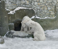 Polar bears play. In winter Stock Images