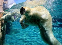 Polar bears playing. Polar bears playful in the water Stock Photos