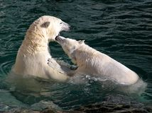Polar bears playing and fighting Royalty Free Stock Photos