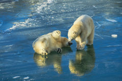 Polar bears playing Royalty Free Stock Photos