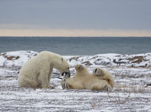 Polar bears playing Royalty Free Stock Image