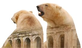 Polar bears. On white background with building stock images