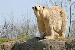 Polar bears Royalty Free Stock Image
