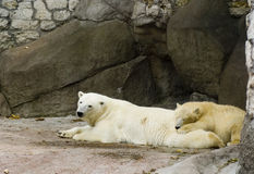 Polar bears relaxing. In zoo stock photography