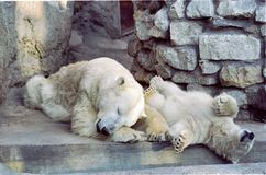 Polar bears at rest royalty free stock images