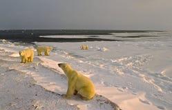 Polar bears on shore of Hudson's Bay royalty free stock image