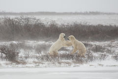Polar bears Shoving after Fighting/Sparring Stock Image