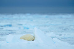 Polar bears, sleeping big cute animal on drift ice with snow and dark sky in Arctic Svalbard, in the cold nature habitat, Norway. Europe Royalty Free Stock Image