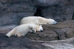 Polar bears sleeping royalty free stock image