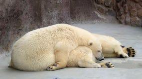 Polar bears. Sleeping polar bears a summer day Stock Image