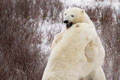 Polar bears sparring in bushes stock photos