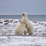 Polar Bears sparring. Two polar bears sparring on the coast of the Hudson Bay.  Churchill, Manitoba, Canada Stock Photo