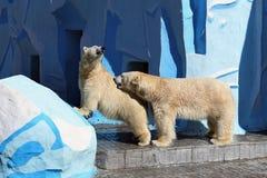 Polar bears spring day show tenderness Royalty Free Stock Photo