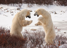 Polar bears sumo wrestle. Two polar bears facing off, standing on hind legs preparing to grapple like sumo wrestlers; standing against white snow and red bushes Royalty Free Stock Images