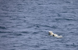 Polar bears swimming in sea Stock Images
