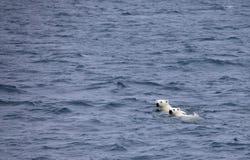 Polar bears swimming in sea stock images